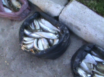 peşte confiscat (2)